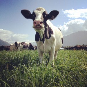 Creekside Dairy Cow