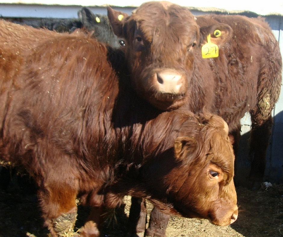 Red Angus Bulls