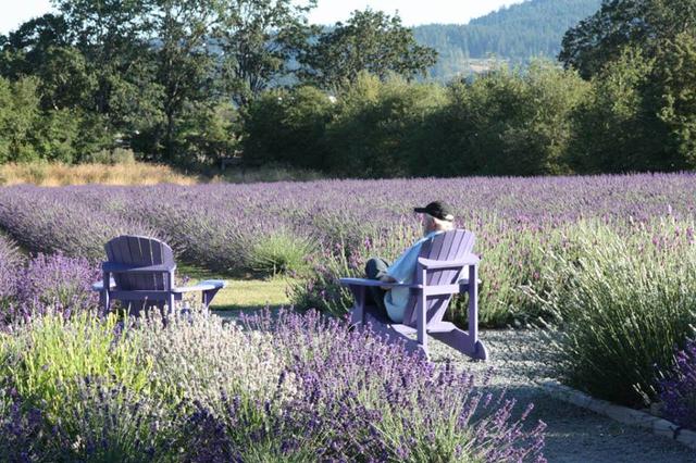 Owner of Victoria Lavender, Alan Mayfield, peruses his lavender crop.
