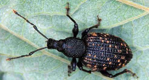 Black vine weevil adult