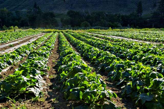 Grown Here organic crops in the Okanagan