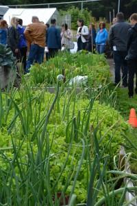 An urban farm flourishes in downtown Abbotsford: a collaboration between ACS and Day 1 Urban Farm.