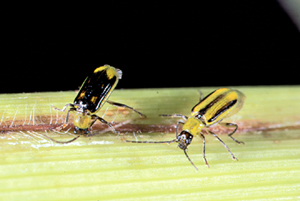 Male and female corn rootworm