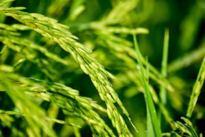 Crops and climate change: Keep the old but bring in the new!