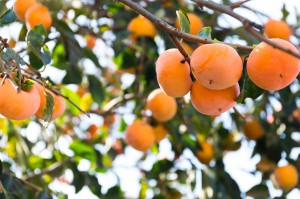 There are many health benefits associated with persimmons