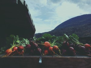 Organic beets ready for market