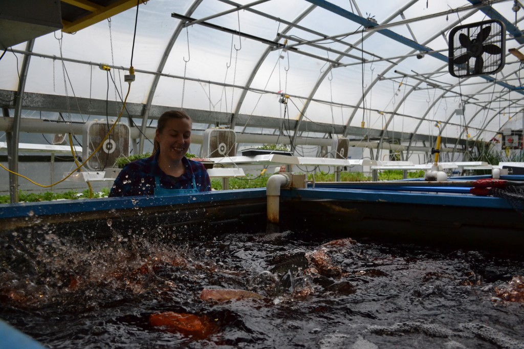 Tilapia live happily in tanks and provide rich nutrients via the water in the aquaponics system