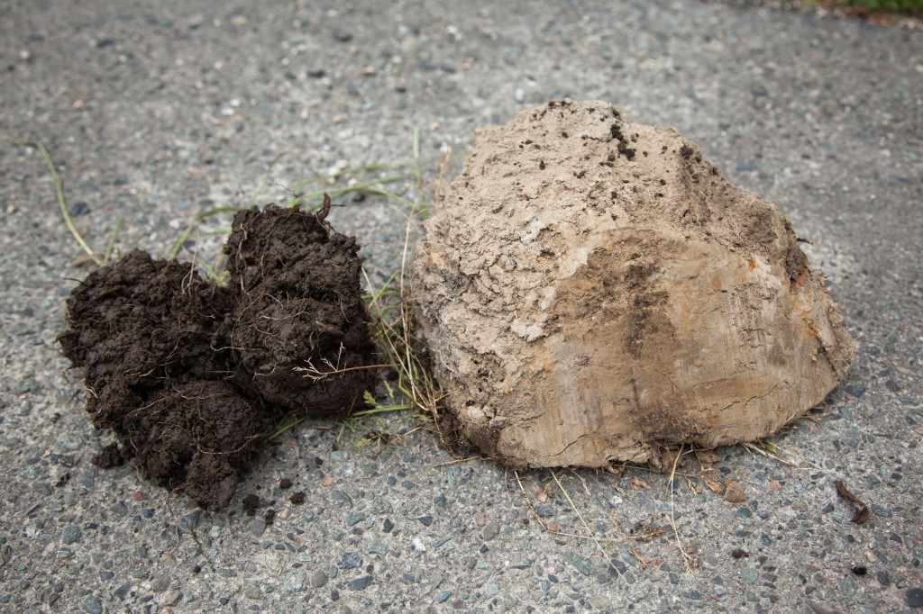 The pig-managed soil (left) was loose, crumbly and teaming with  bacterial biology