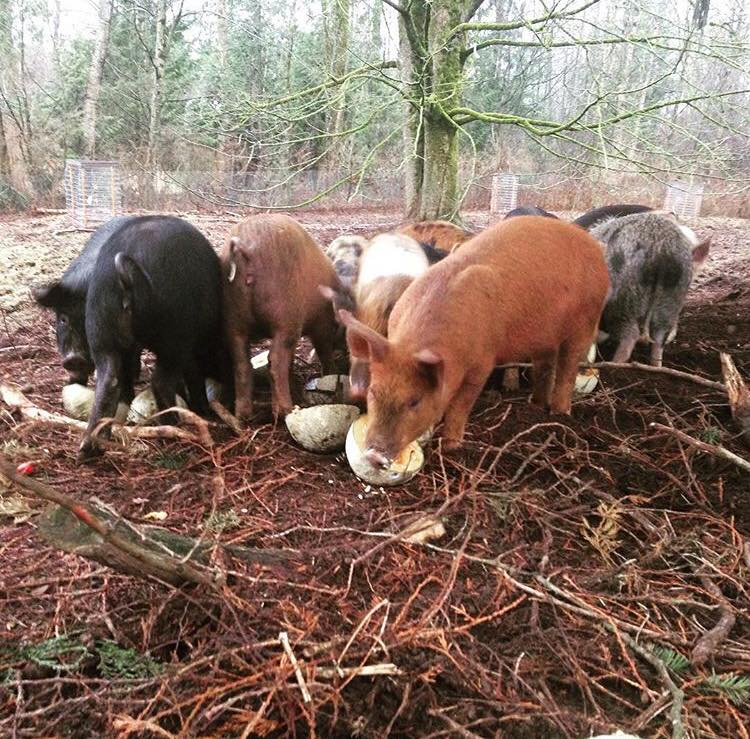 We knew we had to manage our pigs in a way that mimicked nature to utilize them as a resource.