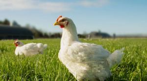 Bostocks free-range chickens
